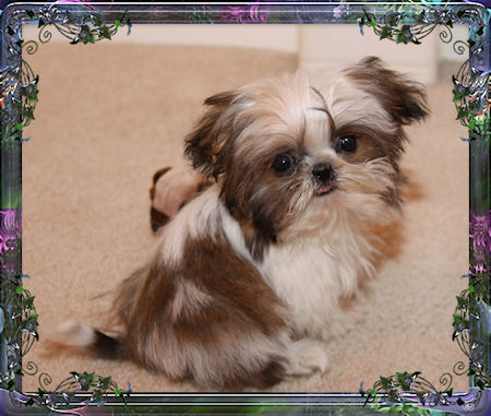 Camie is a tiny Chinese Imperial Shih Tzu female that is 2.2 pounds grown.