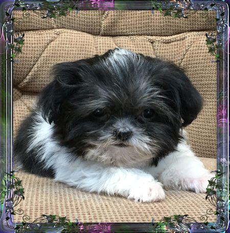 Shih Tzu Chinese Imperial Dog Amerbreedercom Akrossinfo