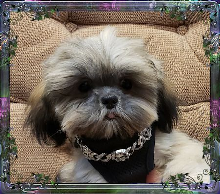 Tiny Chinese Imperial Shih Tzu male puppies for sale