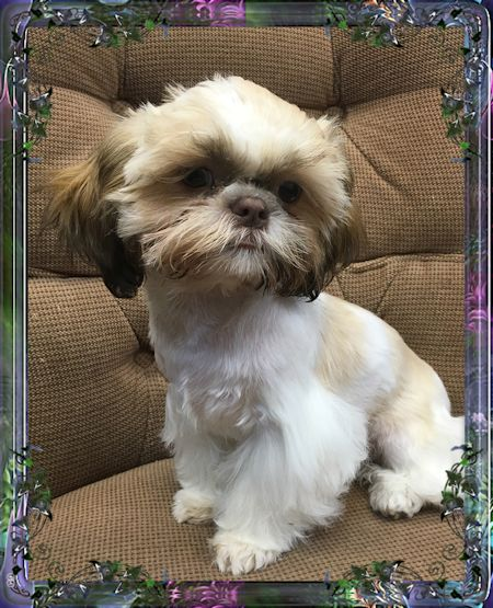 teacup shih tzu adults tiny chinese imperial shih tzu male puppies for sale 5946