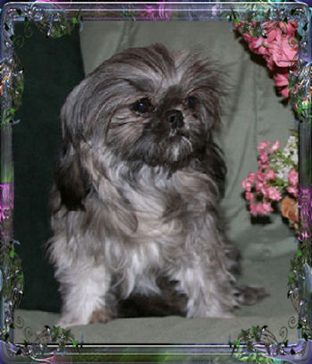 Tiny Little, Chinese Imperial Dog, Imperial Shih Tzu, uppies for sale, Female/Bitzy