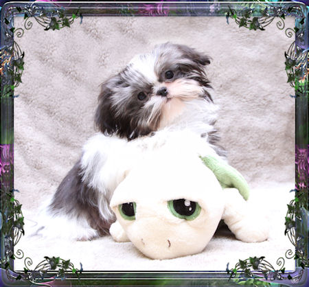 This is Max and loves to cuddle with his toys! Chinese Imperial Shih Tzu puppy.
