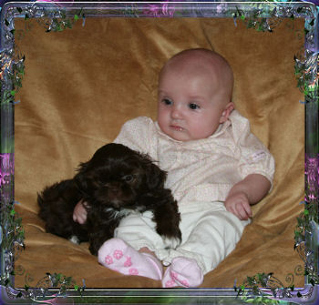chinese imperial shih tzu breeder in Las Vegas, Nevada and Chinese Imperial Dog, puppies for sale. Chinese Imperials are great family dogs and are great with children. They are the sweetest little puppies, and grow up to be the most loving dogs.
