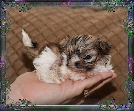 Imperial Shih Tzu Puppies For Sale Chinese Imperial Dog Breeder